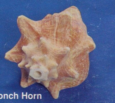 Conch Horn