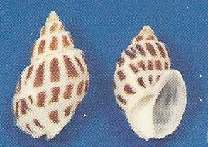 Babylonia Areolata