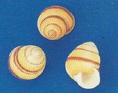 Banded Yellow Snail