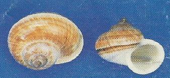 Brown Mountain Snail