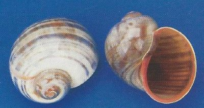 Cherry Land Snail Striped