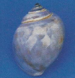 Gray Land Snail
