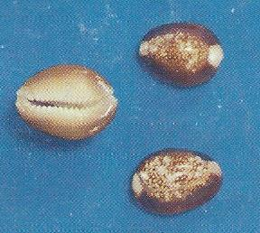 Snakehead Cowrie