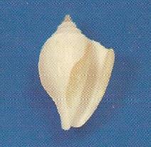 White Canarium