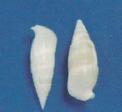 White Cerithium