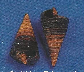 Cerithium Telescopium
