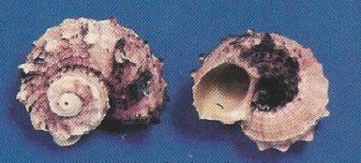 Delphinula Laciniata