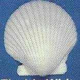 Florida White Scallop