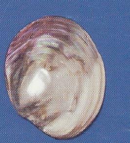 Fresh Water Pearled Clam
