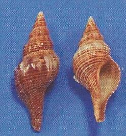 Fusi Shell