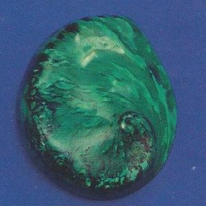 Dyed Green Abalone