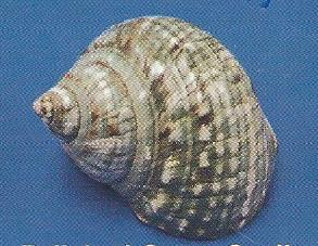 Polished Green Snail