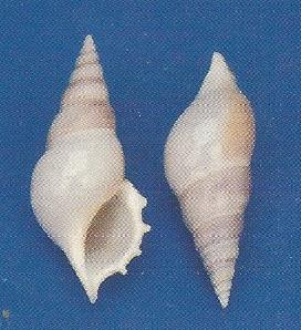 Tibia White