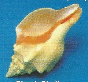 Chank Shell