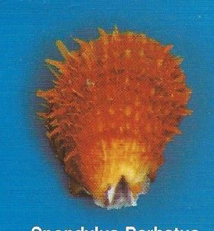 Spondylus Barbatus